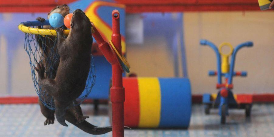 Attribuez une à cinq étoiles aux diaporamas Animal Story de la semaine:Leçon de respiration pour les petites baleines à bosse:Pendant cinq heures de plongée au large de l'île Roca Partida, dans l'archipel mexicain des Revillagigedo, le photographeAnuar Patjane a immortalisé des images magnifiques.Blessé, le flamant rose reçoit une prothèse:Un prothésiste local a fabriqué gratuitement une nouvelle patte à l'animal en fibre de carbone.L'arbre aux lions:Quand les lions décident de quitter la terre ferme, ils trouvent refuge… dans un arbre.Partie de basket pour les loutres:Dans un parc de Jakarta, en Indonésie, les loutres ont appris à s'amuser avec un ballon.Premiers jours au soleil pour le petit morse:Le zoo Hagenbeck, à Hambourg, en Allemagne, a dévoilé la semaine dernière un petit morse.L'impressionnante rencontre du plongeur et du cachalot:Le vidéographe américain Patrick Dykstra a immortalisé l'incroyable rencontre entre un plongeur chanceux et des cachalots.Face au léopard:Le photographe animalier Russell McLaughlin a pu avoir un tête à tête avec un des léopards de la réserve Tshukudu, en Afrique du Sud.Un lifting pour Benny le shar pei aveuglé:Les amas de peau aveuglaient le chien, retrouvé errant dans les rues du comté de Dorset.Deux jeunes Condors des Andes dévoilés:L'International Center for Birds of Prey, situé à Newent dans le Gloucestershire, a dévoilé mercredi deux jeunes Condors des Andes.Les lions contraints de partager avec les hyènes: Les lionsont dû céder une partie de la carcasse d'un hippopotame à des hyènes attirées par l'odeur.Coucou, voilà le guépard !:Un touriste irlandais en plein safari au sein de la réserve Masai Mara au Kenya, a eu une sacrée surprise: l'arrivée, à son côté sur la banquette arrière, d'un guépard.