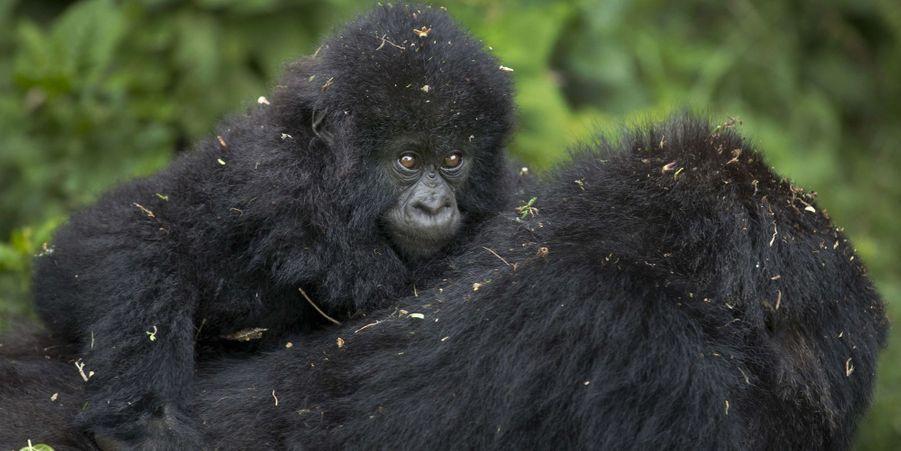 Au Rwanda, un rituel pour les gorilles