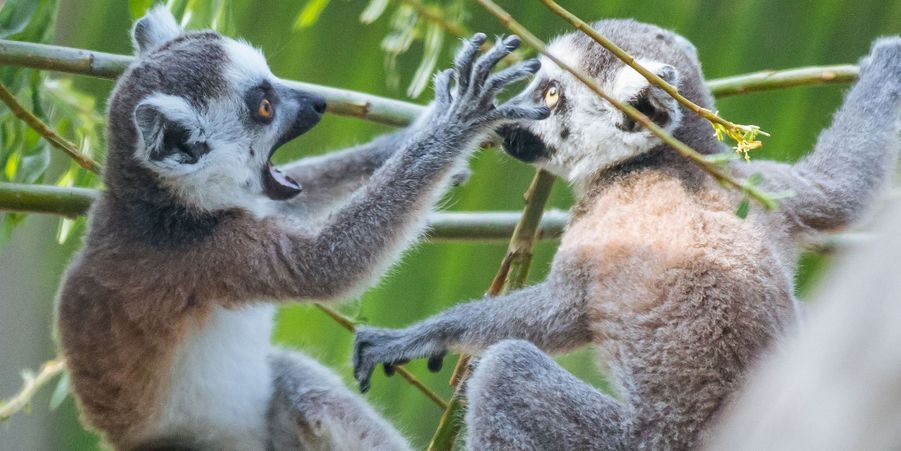 Bataille chez les lémuriens