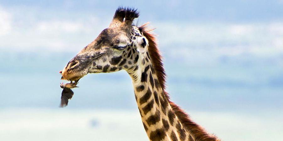 L'oiseau joue les dentistes pour une girafe