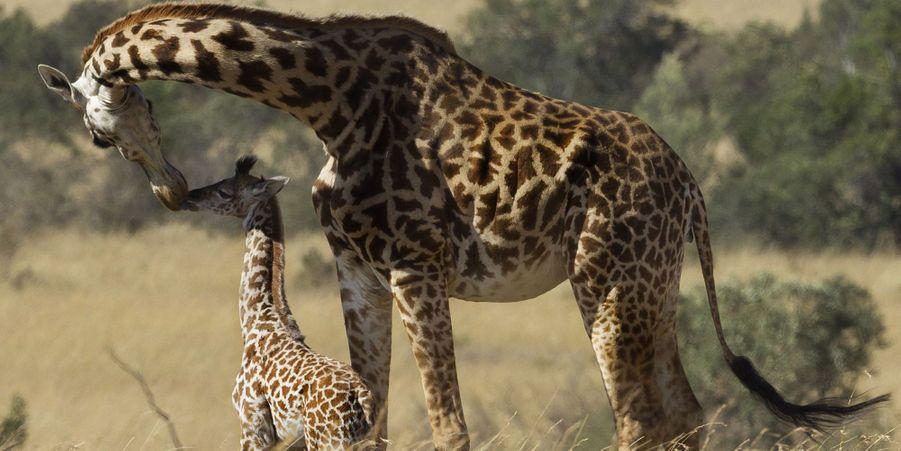 """Attribuez une à cinq étoiles aux diaporamas Animal Story de la semaine:Gestes tendres chez les girafes:En plein safari au sein de la réserve du Masai Mara, au Kenya, Munic Chaudry a assisté à un moment de tendresse entre une girafe et son petit, âgé d'à peine un mois.Face à face avec un ours blanc:LeCochrane Polar Bear Habitat, un parc dédié aux ours polaires situés dans l'Ontario (Canada), a mis en place une activité bien particulière: la nage avec les ours blancs.Les 15 loups mystiques repérés sur Pinterest:Les loups n'ont pas forcément une image positive dans l'esprit des populations : menaçants, cruels voir mortels.Le paresseux équatorien qui a conquis Internet:Les autorités équatoriennes ont publié les clichés de cet animal retrouvé fermement agrippé à un poteau, coincé entre les deux voies d'une autoroute située à Quevedo.Naissance d'un adorable bébé gorille à Amsterdam:Après huit mois et demi de gestation, le petit de Sindy est arrivé au zoo d'Amsterdam. Le bébé gorille est né jeudi dernier, le 21 janvier.Omo la girafe blanche de Tanzanie:Au sein du parc national de Tarangire, en Tanzanie, vit une girafe bien particulière: Omo ne présente pas les teints beiges et marrons d'une girafe classique, puisqu'elle est blanche.Bienvenue au yoga, option lapins:Le club de sport Sunberry Fitness situé à Richmond, au Canada, a organisé, plus tôt ce mois, la deuxième session de """"yoga avec lapins""""."""