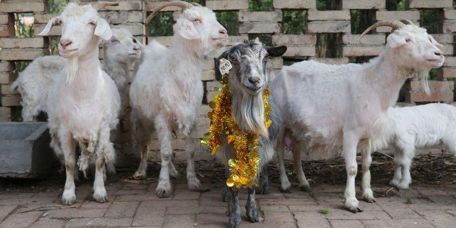 Yangyang la chèvre clonée fête ses 15 ans