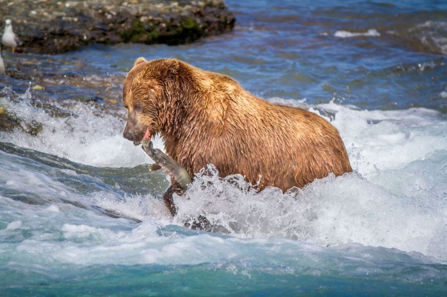 Quand les ours chassent le saumon