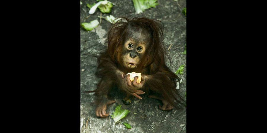 Cet adorable bébé orang-outan est en train de déguster son goûter sous l'objectif du photographe. (voir l'épingle)Suivez nous sur Pinterest !