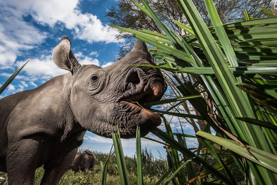 Les soigneurs d'occupent des rhinocéros orphelins
