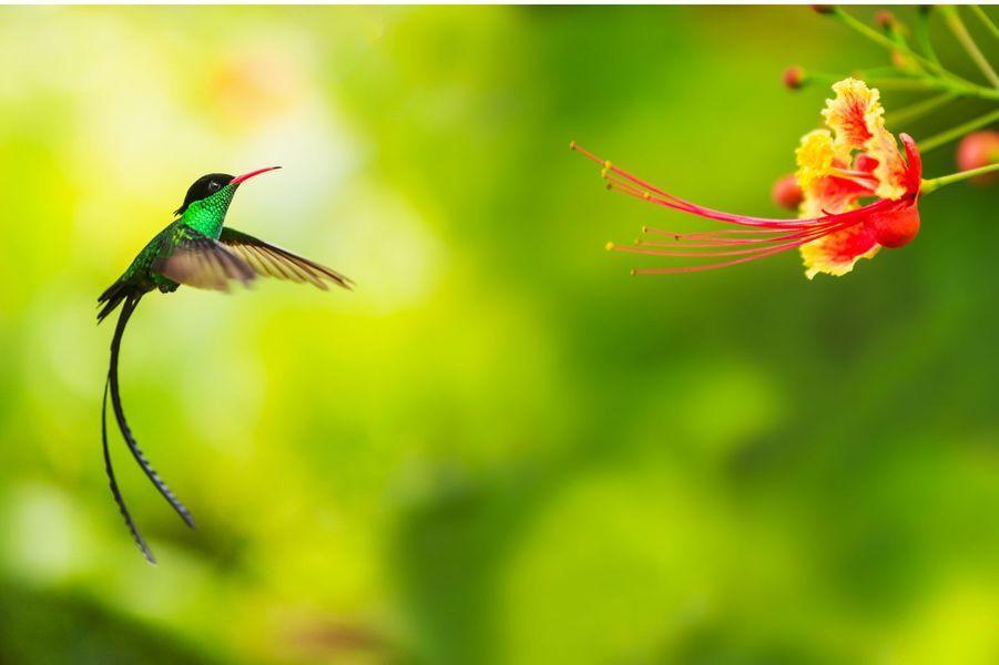Le colibri va battre 4000 fois des ailes