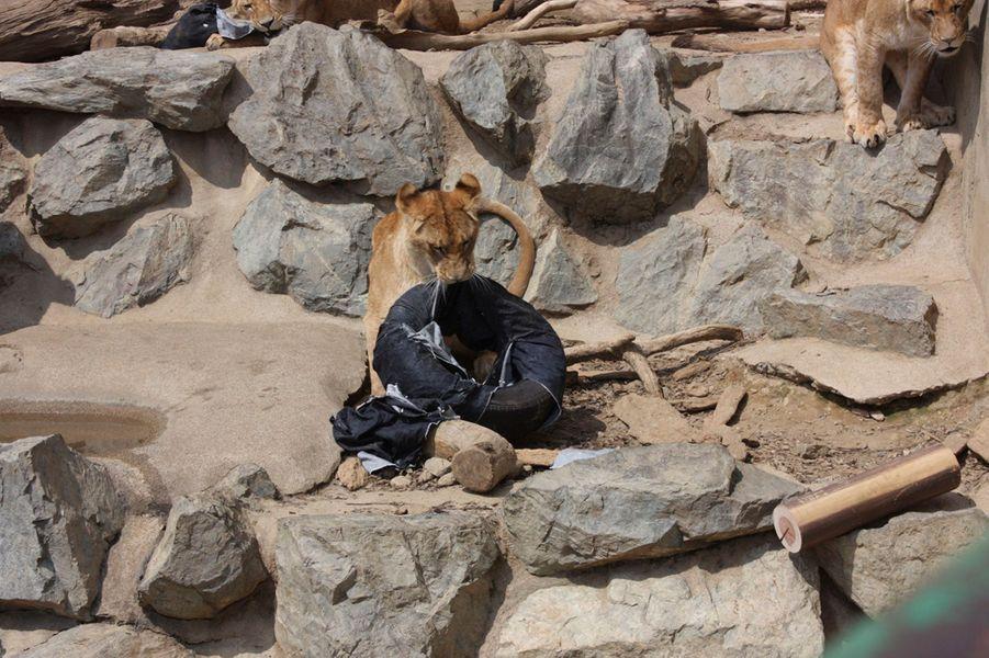 de la savane la mode un zoo utilise ses lions pour vendre des jeans. Black Bedroom Furniture Sets. Home Design Ideas