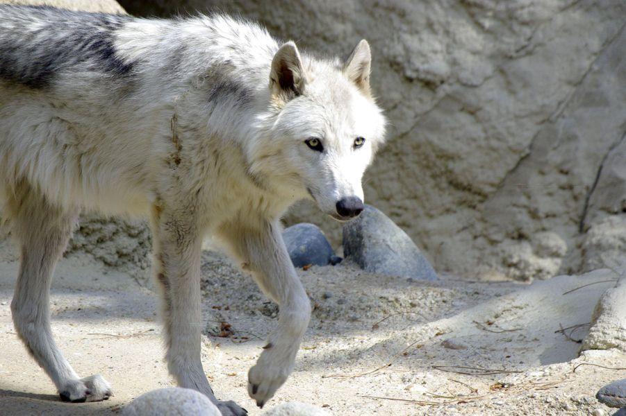 Le très beau loup