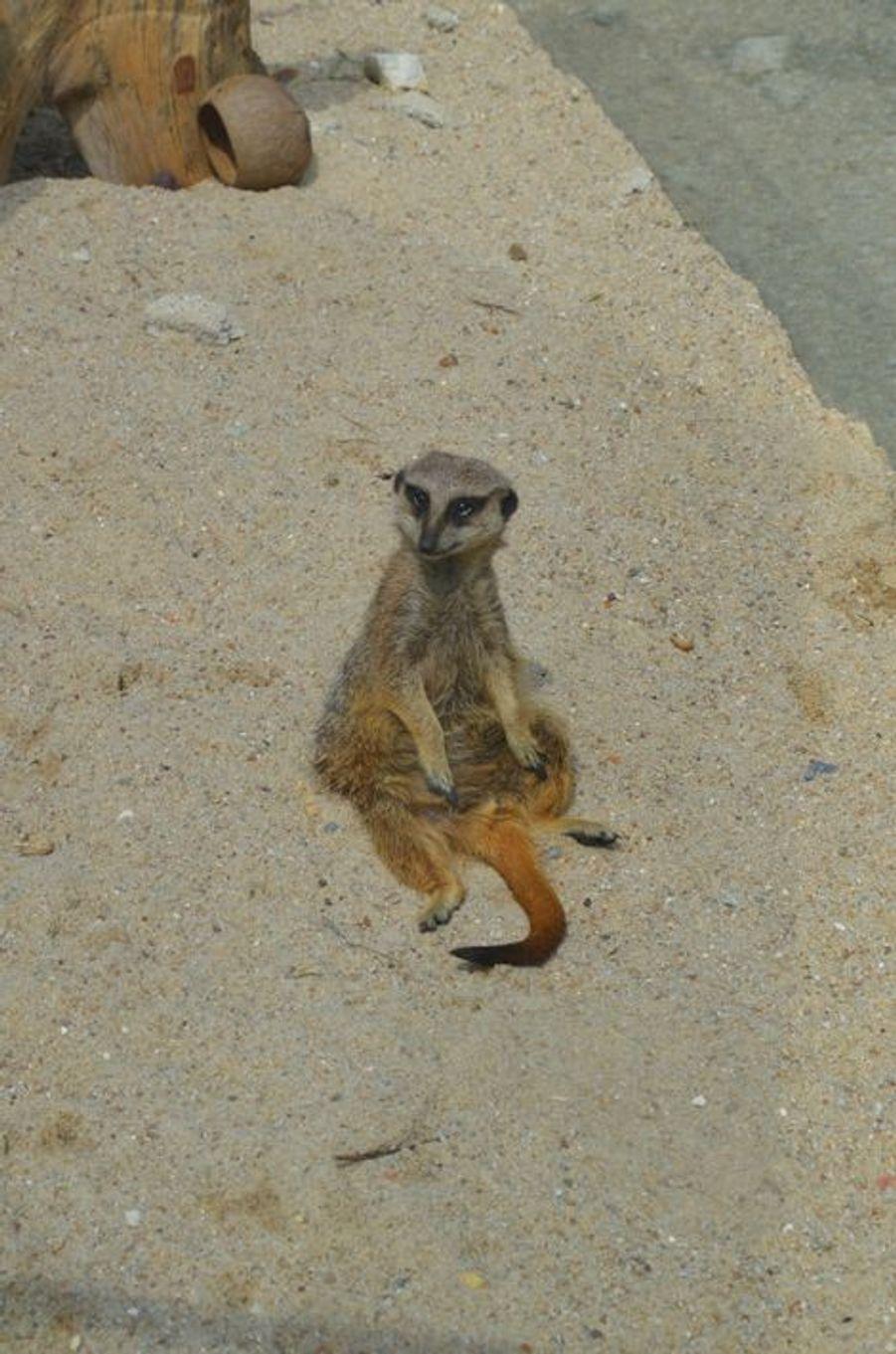Les suricates sont présents à plusieurs endroits du parc