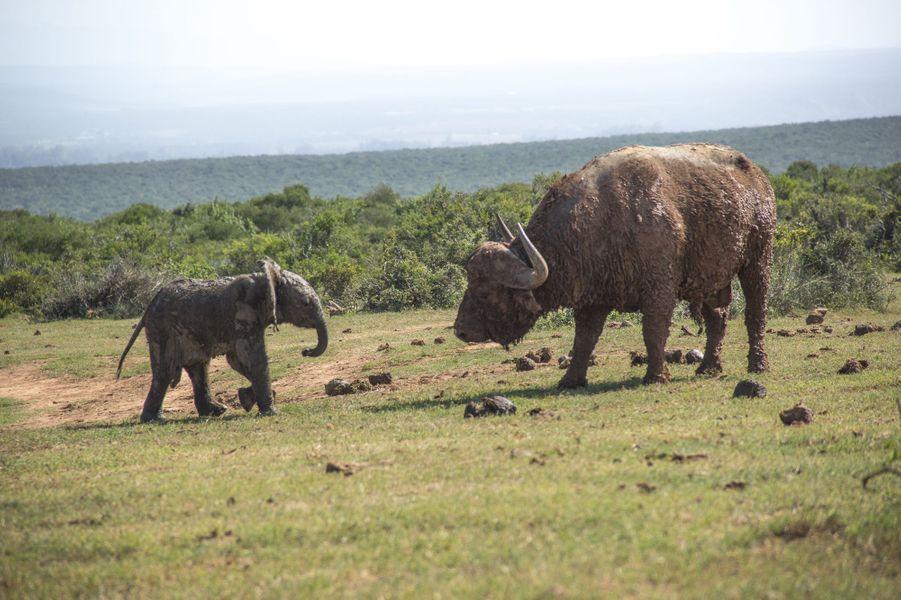 L'éléphanteau défend son point d'eau face à un buffle