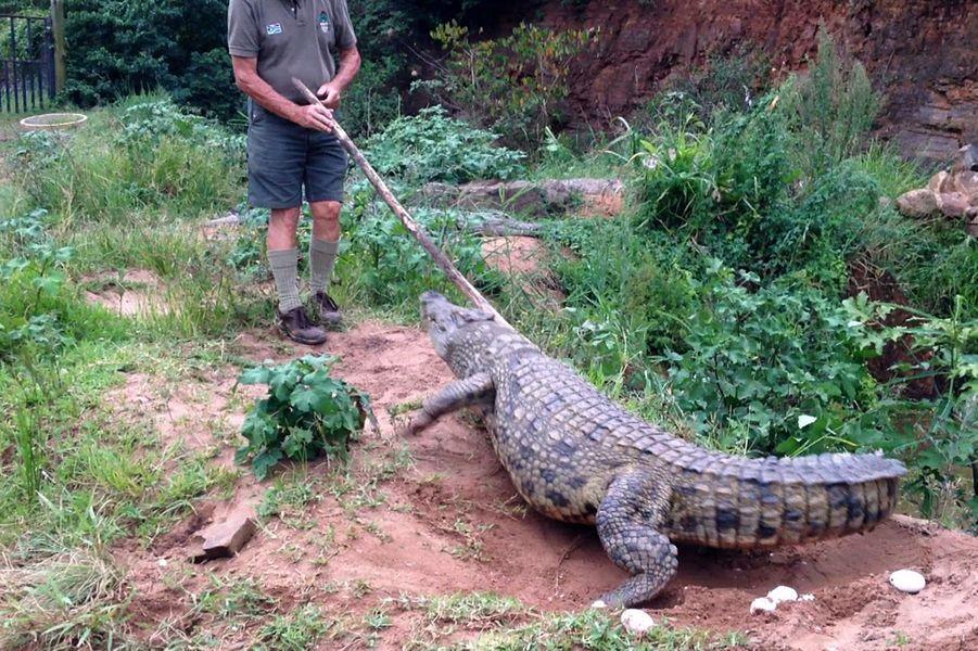 Le crocodile attaque un soigneur