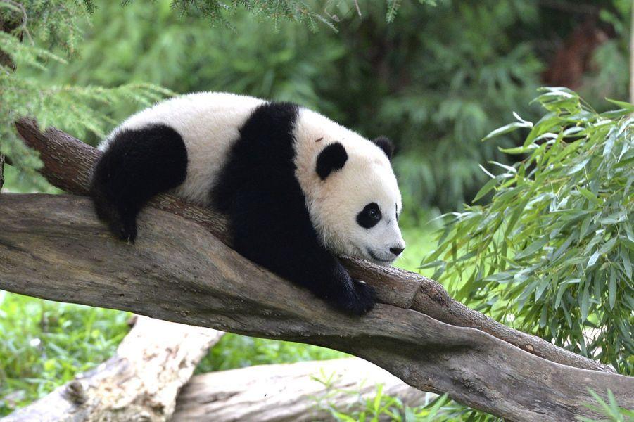 Bao Bao le panda a un an