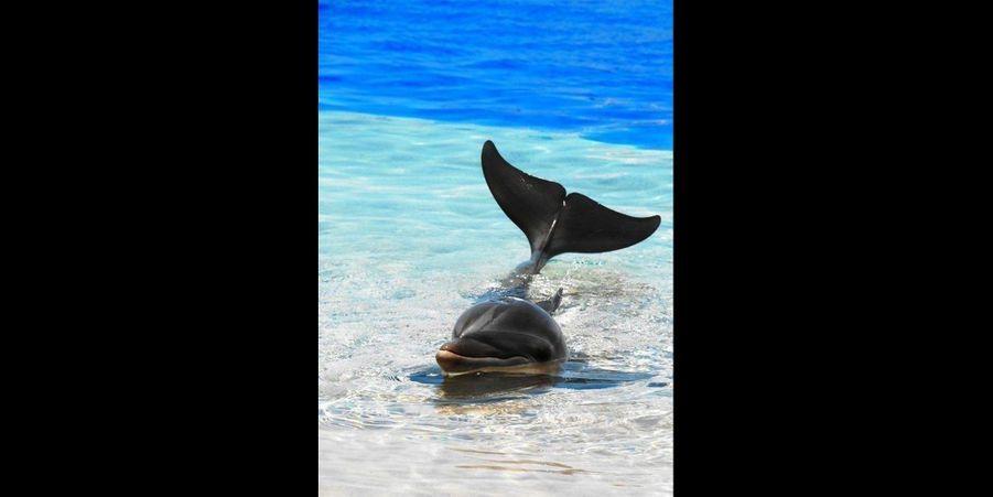 Très populaire auprès des enfants, le dauphin est un mammifère marin dont l'intelligence est exceptionnelle. Les dauphins sont des êtres sociables, ils vivent en groupe et s'entraident pour la chasse et pour leur sécurité face aux prédateurs.Pour communiquer entre eux, les dauphins utilisent des ultrasons à la façon d'un sonar. Cela leur permet également de détecter d'éventuels obstacles ainsi que de repérer des bancs de poissons pour faciliter la chasse.Le régime alimentaire des dauphins se compose de toutes sortes de poissons mais également de calamars, de crevettes et même de petits requins! En moyenne, un dauphin adulte pèse 75kg et mesurejusqu'à2,5 mètres.Les dauphins apprécient particulièrement la présence de l'homme, ils sont fascinés par les bateaux et n'hésitent pas à passer avec plaisir de longues heures à suivre les touristes ou les pêcheurs.On trouve des dauphins dans quasiment toutes les mers et les océans du monde, certaines espèces telles que le dauphin rose vivent même en eau douce en Amazonie.Le saviez-vous ? Le dauphin est si intelligent qu'il est capable dereconnaîtreson propre reflet dans un miroir et d'utiliser certains outils.Cette semaine, nous vous avons sélectionné les meilleures photographies des dauphins malicieux sur Pinterest. Retrouvez également notre dernier diaporama sur les10 furets futés repérés surPinterestainsi que les15 orangs outangs attendrissants repérés surPinterest.Suivez nous surPinterest!