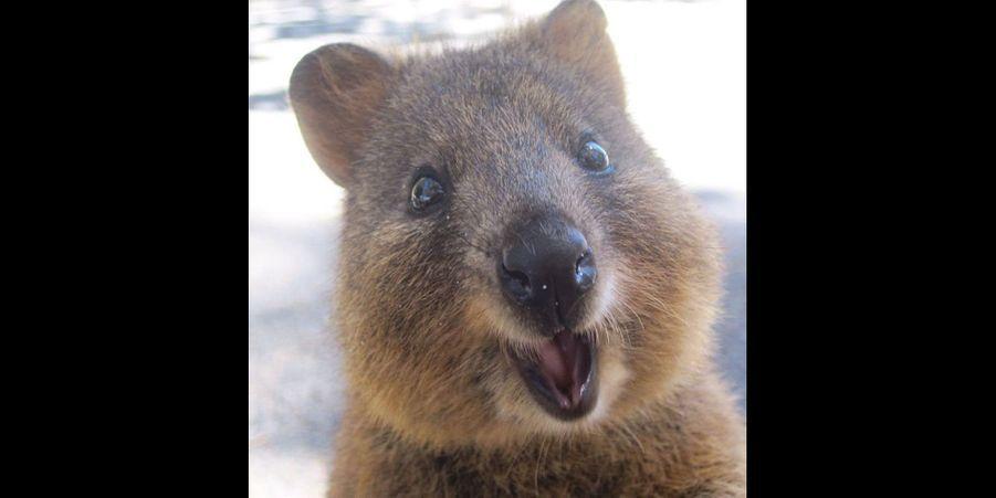 Les quokkas sont certainement les animaux les plus heureux du monde entier : ils affichent toujours un large sourire et vivent paisiblement en famille. Leur quotidien est rythmé par les siestes, les repas copieux et les selfies avec des passants intrigués.Le quokka est un petit marsupial de la même famille que celle des kangourous. C'est un animal de petite taille qui pèse jusqu'à 5 kilos une fois adulte. Comme le kangourou, il se déplace en sautillant sur ses pattes arrières ou en marchant sur ses quatre pattes. Néanmoins, ses membres sont bien moins puissants et musclés que ceux des kangourous. Il adore grimper aux arbres ou dans les arbustes, il y trouve souvent refuge en cas de danger pour lui ou sa famille.On ne trouve le quokka qu'en Australie, comme son grand cousin. Il se nourrit principalement de feuilles, de plantes grasses, de racines et parfois de petits insectes. C'est un animal nocturne: dès la tombée de la nuit, il part à la recherche de nourriture avec son groupe parfois composé jusqu'à 100 quokkas ! Quand le jour se lève, le quokka retourne dans son abri pour se reposer et être protégé.Comme chez les kangourous, les quokkas possèdent une poche au niveau de le ventre afin de protéger les nouveaux nés. À sa naissance le petit ne pèse que 600 grammes. Il rampe alors jusqu'à la poche marsupiale où il s'accroche à une tétine. Il commence à quitter la poche marsupiale à l'âge de 6 mois mais il s'y réfugie encore jusqu'à 10 mois.Cette semaine, nous vous avons sélectionné les meilleures photographies des quokkas euphoriques repérés sur Pinterest. Retrouvez également notre dernier diaporama surles 12 manchot givrés repérés surPinterest.Suivez nous surPinterest!
