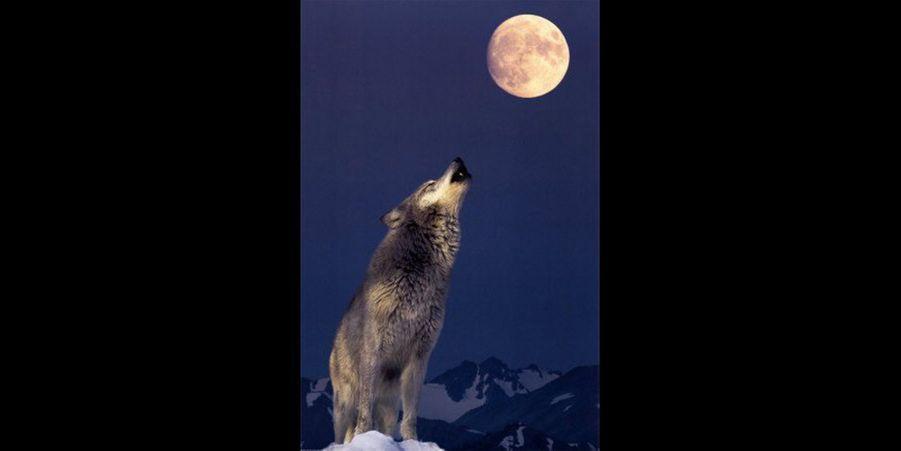 Les loups n'ont pas forcément une image positive dans l'esprit des populations : menaçants, cruels voir mortels. Il est vrai qu'au Moyen-Age, il était dangereux pour sa vie de croiser en chemin une meute de loups, les attaques étaient fréquentes et souvent inévitables lorsqu'on se déplaçait à cheval.Le loup est une espèce protégée en France ainsi que dans le reste de l'Europe, en effet de nombreux individus ont été tués par l'Homme après avoir attaqué des troupeaux.Le loup reste un animal malheureusement souvent détesté dans certaines régions face aux attaques récurrentes.Pourtant, le loup est un animal extraordinaire. Puissants et vigoureux, les loups sont également de fiers chasseurs. Ils sont capables de former une stratégie coordonnée afin de parvenir à attraper leur proie.Les loups sont très sociables, ils forment une grande famille où les individus sont très proches et solidaires les uns des autres.Le saviez-vous ? Leloup peut émettre de multiples vocalises : glapir, gémir, geindre, geindre plaintivement, lancer une plainte, gronder plaintivement, gronder, grogner, japper, aboyer,hurler… Le loup n'a pas fini de s'exprimer !Cette semaine, nous vous avons sélectionné les meilleures photographies de ces éléphants majestueux surPinterest. Retrouvez également notre diaporama de la semaine dernière surles 15 chouettes paisibles repérées surPinterestainsi que notrediaporamasurles 10 blaireaux timides repérés surPinterest.Suiveznous surPinterest!