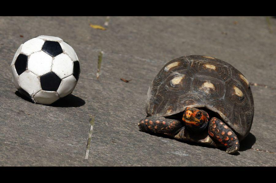Tina, la tortue brésilienne