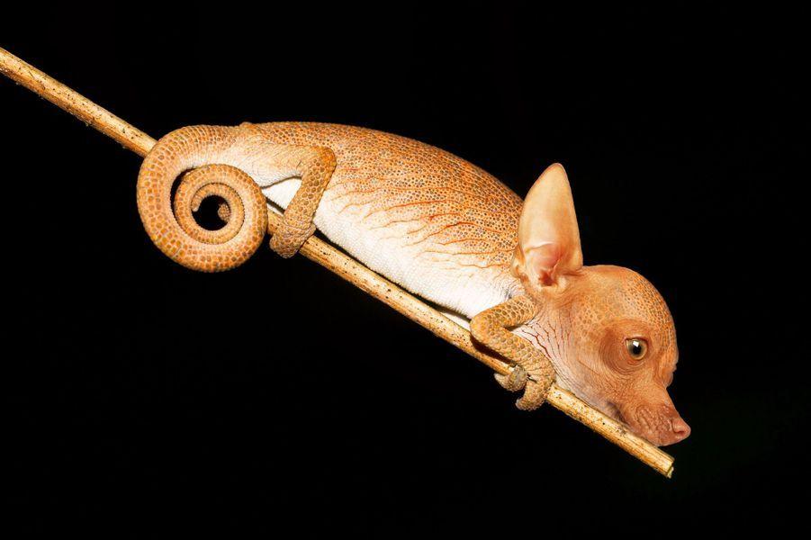 Le caméléon-chiwawa