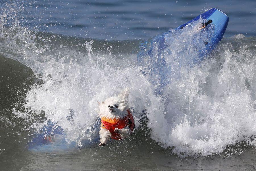 Des chiens surfeurs domptent les vagues californiennes
