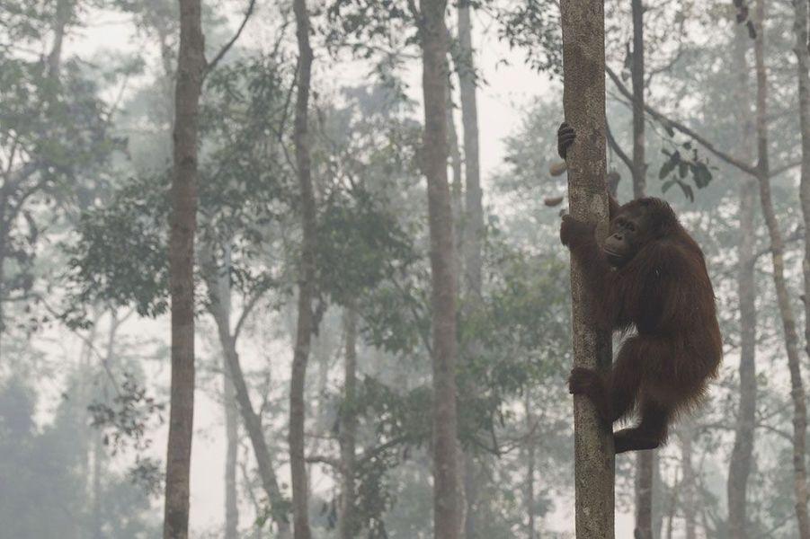 Les orangs-outans en péril