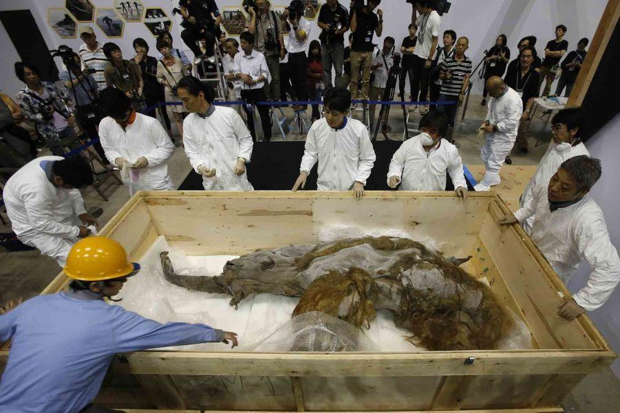 Japon: un mammouth de 39 000 ans en vedette