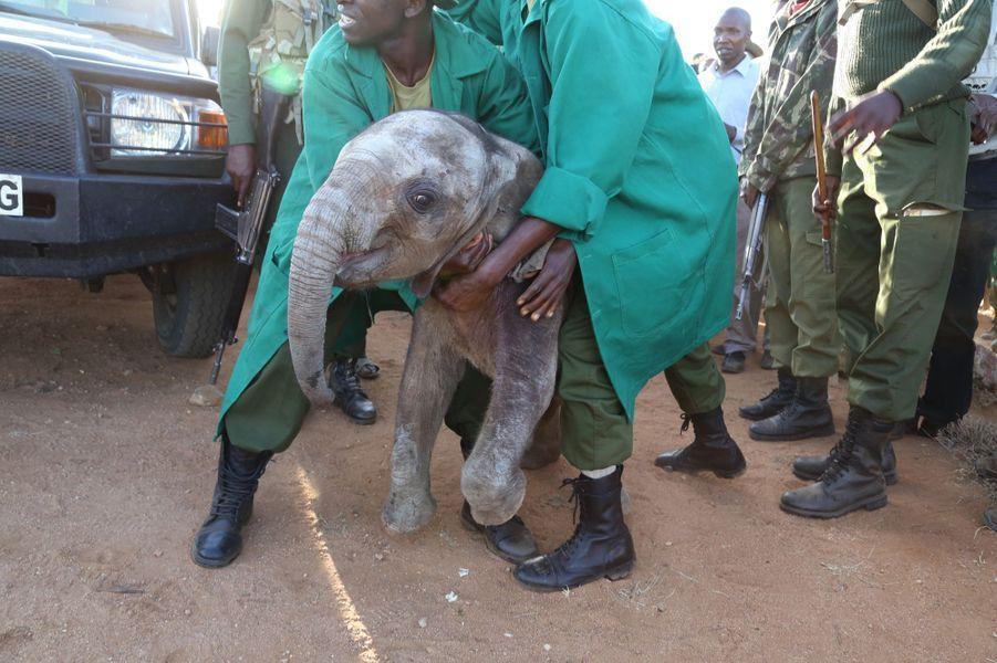 Mbegu, l'éléphanteau sauvé de la vengeance humaine