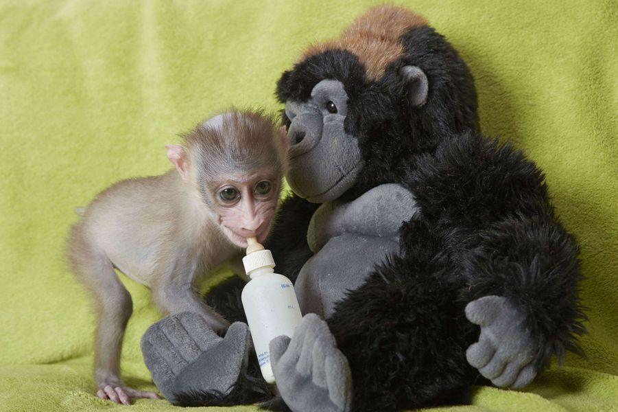 Mubi, un singe à domicile
