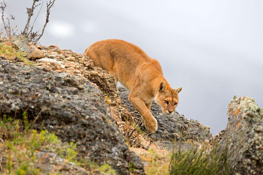 Puma (mountain lion)