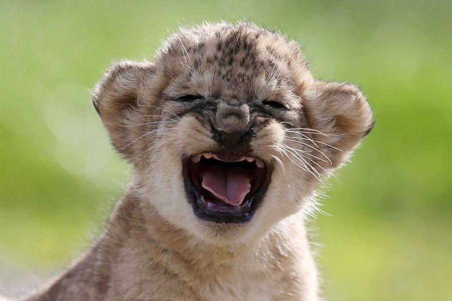 L'un des quatre lionceaux du Parc Blair Drummond en Ecosse, au nord de Glasgow