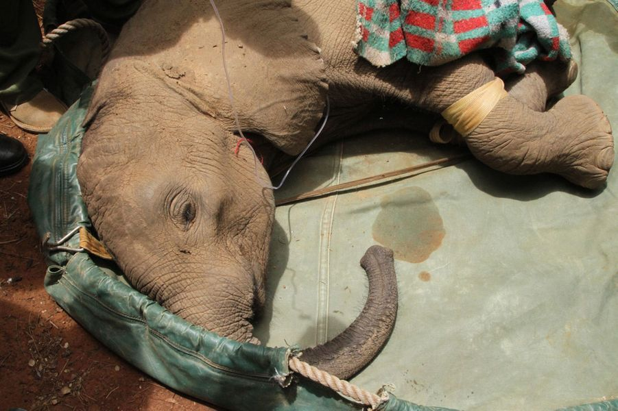 Sokotei, l'éléphanteau orphelin sauvé de la nuit