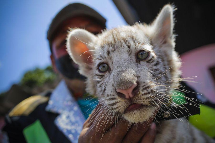 Trois petits tigres du Bengale sont nés au cirque
