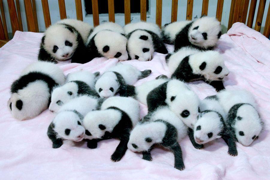 La base de recherche de Chengdu expose ses petits pandas géants