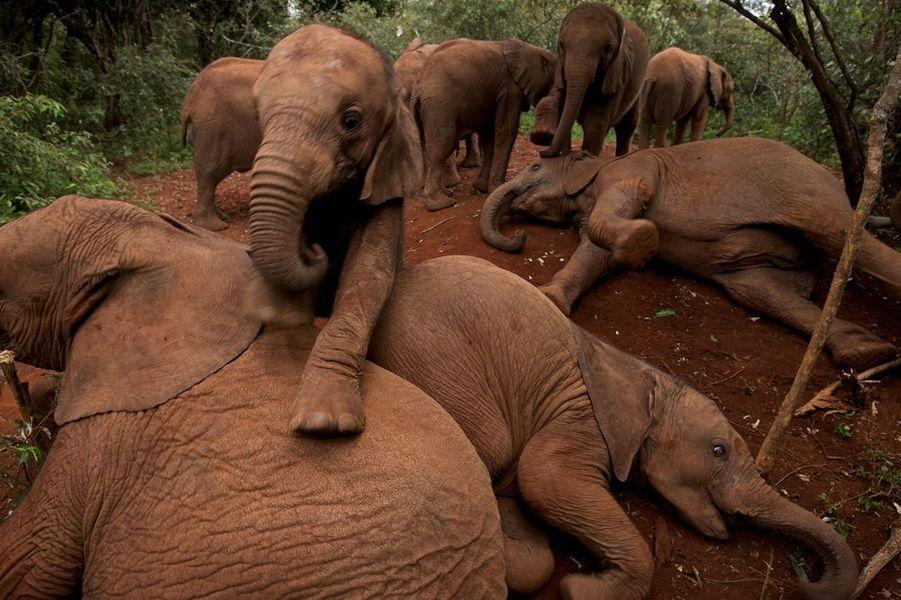 À l'orphelinat des éléphants du David Sheldrick Wildlife Trust (DSWT). Parc national de Nairobi, Kenya, 2010.