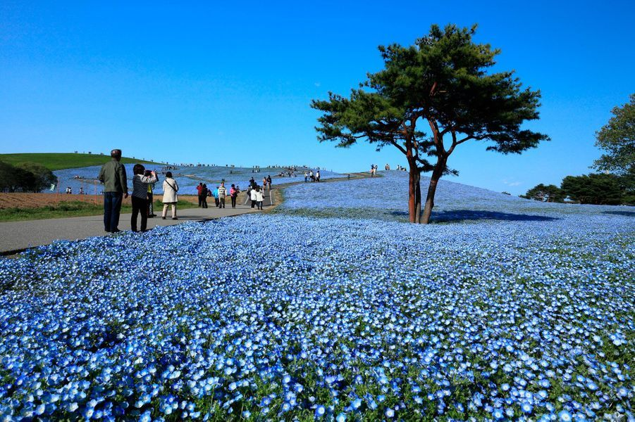 C'est sans doute les plus jolies fleurs du monde qui se dressent sur l'Hitachi Seaside Park. Situé à deux heures de Tokyo, ce parc est toujours un régal visuel, peu importe la période de l'année. On marche à travers des décors bleus, rouges, verts, et orange. Un véritable arc-en-ciel qui se dérobe sous vos pieds.