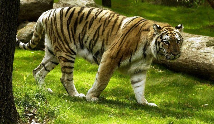 Le grand zoo de l'Etat de New York possède de magnifiques espaces réservés aux grands fauves.