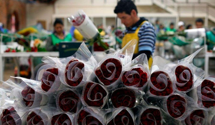 Un homme confectionne des bouquets de roses, à l'occasion de la Saint Valentin, à Chia. Près de 450 000 000 fleurs sont exportées de Colombie pour la fête des amoureux.