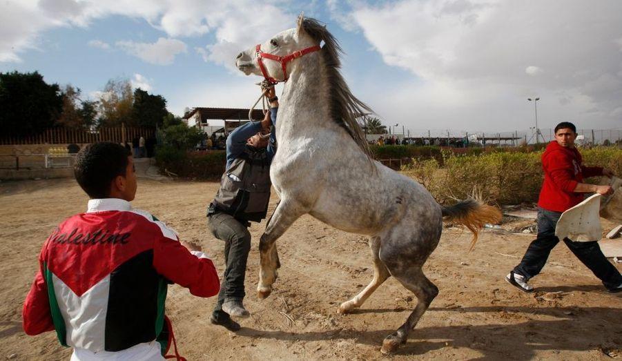 Un jockey palestinien attend que son cheval soit maitrisé, avant le départ d'une course dans la ville de Jericho, dans la bande de Gaza.