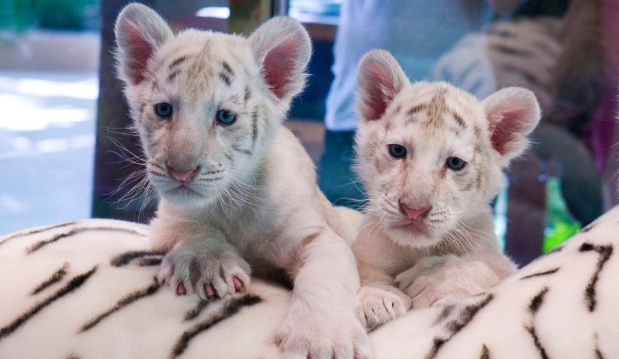Deux tigres blancs jumeaux sont nés le 22 juin dernier à Las Vegas. Les félins pesaient chacun environ 900 grammes à leur naissance. Leurs parents font partie d'un spectacle mis au point par le duo d'illusionistes Siegfried & Roy.