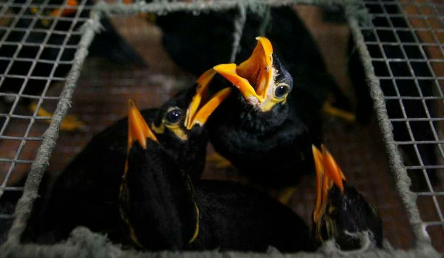 Quelque 69 mainates mais aussi 17 tortues ont été saisis par la police de Manille chez des commerçants illégaux qui les maltraitaient, et les ont remis au zoo de la capitale philippine.