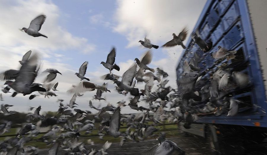 A Alnwick, dans le Nord de l'Angleterre, des dizaines de pigeons s'envolent au départ d'une course durant laquelle ils doivent regagner le plus rapidement possible leur niche habituelle.