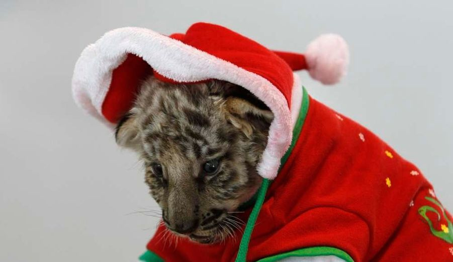 Un bébé tigre est habillé en Père Noël au zoo Sriracha Tiger de de la province de Chonburi, à l'est de Bangkok.