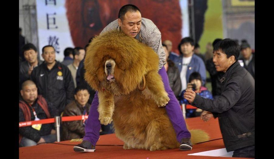 Un dogue du Tibet, lors d'un concours de beauté canine à Shenyang, dans la province de Liaoning, en Chine.