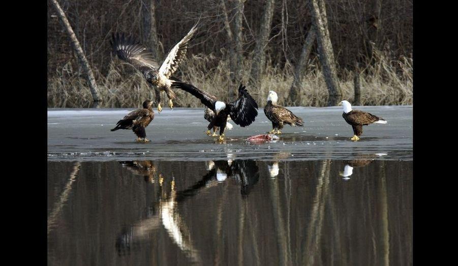 Un groupe de pygargues à tête blanche et dorée se nourrissent de poisson sur la surface gelée de la rivière Mississippi près de LaCrescent.