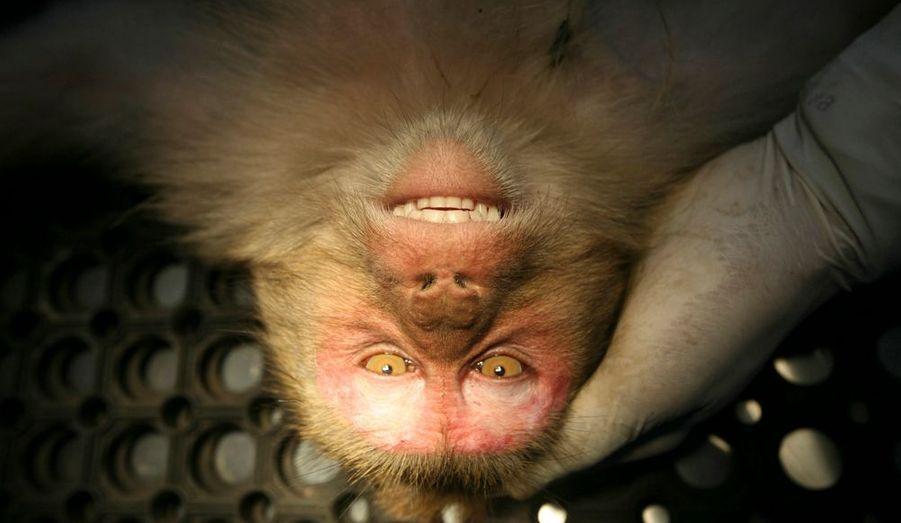 Un singe est stérilisé par un vétérinaire dans un centre spécialisé au nord-est de l'Inde. Le gouvernement de la province du Himachal Pradesh offre une prime à quiconque capture un singe en vue de le stériliser et de contrôler leur nombre.