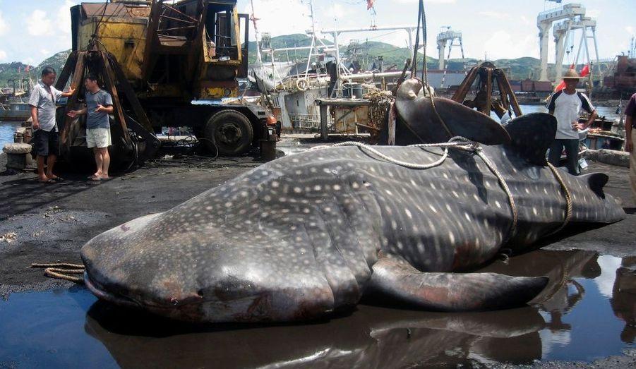 Un requin-baleine est mort dans le port de Taizhou, en Chine. L'animal, qui mesure 6 mètres de long et pèse 3 tonnes, a suffoqué après avoir été accidentellement piégé dans un filet, selon China Daily.