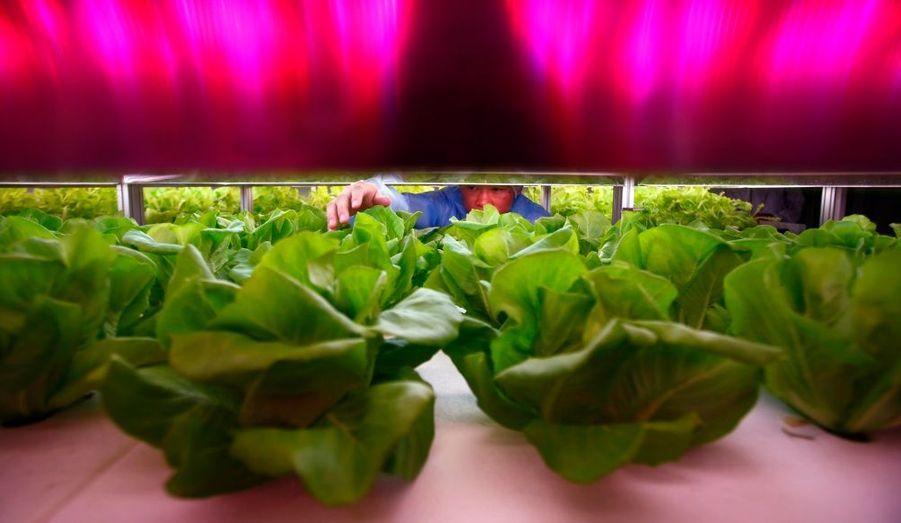 La première usine de légumes commandée par ordinateur s'est ouverte près de Pékin, en Chine. Ces salades, par exemple, poussent sous une lumière artificielle et sont plantées dans une solution liquide. L'usine compte fournir environ 15 millions de légumes et de fruits sans pesticides par an.