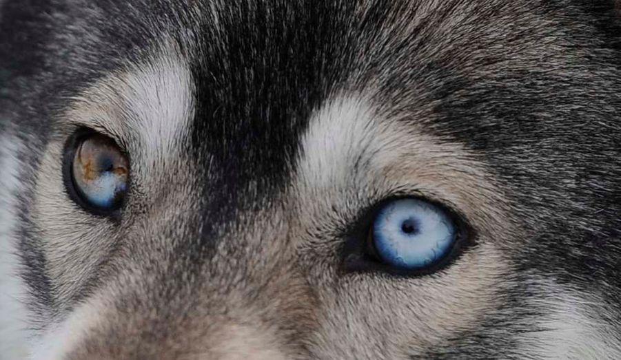 Un chien husky parait inquiet avant le 29e rendez-vous annuel de la course d'Aviemore, en Ecosse.
