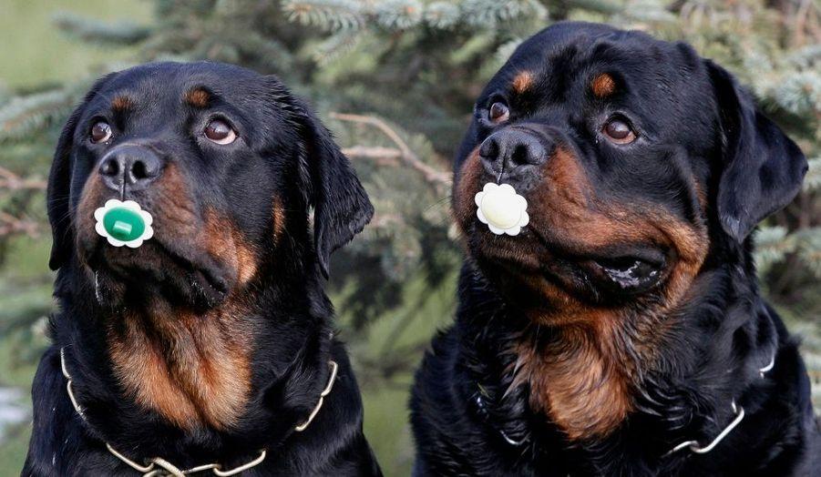 A Krasnoyars, en Russie, des rottweilers posent avec des tétines lors d'un concours de maître-chien.