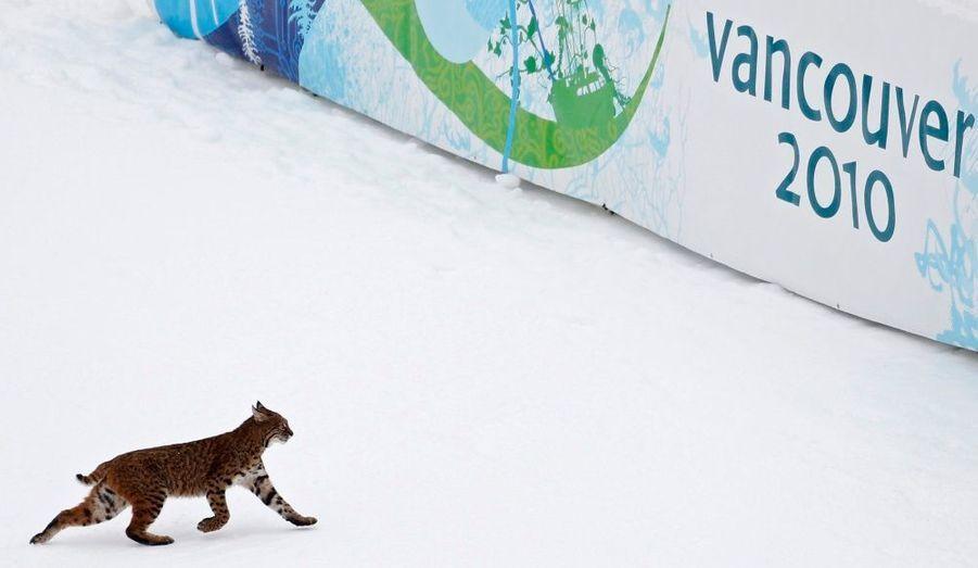 Un lynx a traversé la piste d'entraînement de la descente, à Whistler, station de ski qui accueille une partie des Jeux Olympiques de Vancouver.