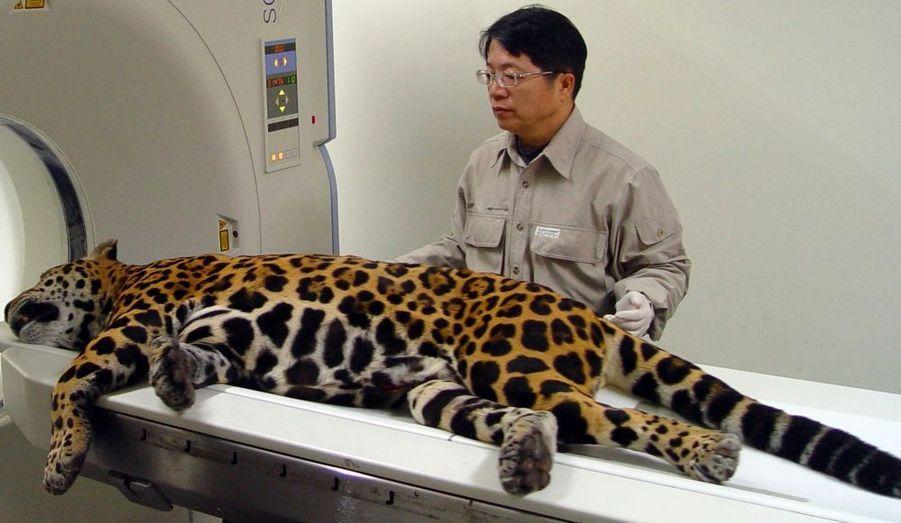 Ce léopard du zoo de Tapeï, à Taïwan, passe un scanner pour vérifier si la tumeur n'a pas évolué depuis son opération.