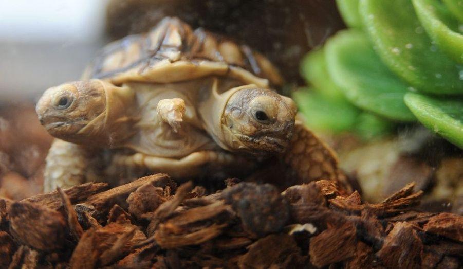 Une tortue à deux têtes a vu le jour à Zilina, en Slovaquie. L'animal de sept semaines a hérité de deux prénoms: Magda pour la tête gauche et Lenka, pour la tête droite.